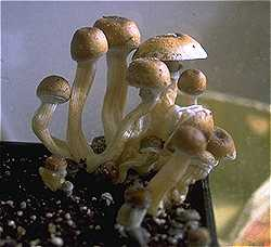 Home grown Stropharia Cubensis